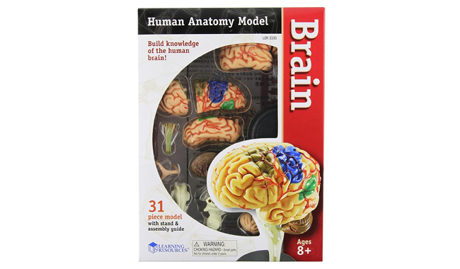 Learning Resources Human Anatomy Brain Model